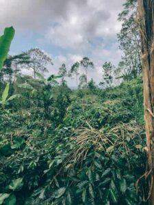バリ島コーヒー農園